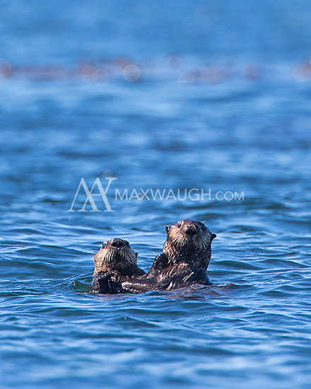 Sea otters are endangered in BC.  We were fortunate to have a few encounters with them during the week.