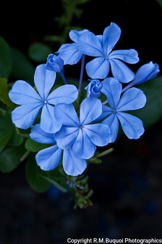 Plumbago blossum