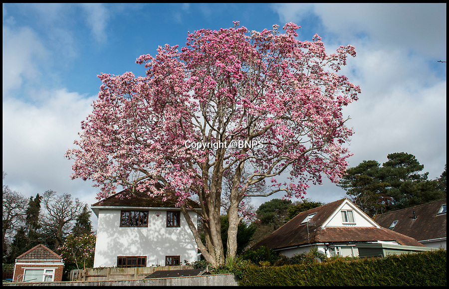 BNPS.co.uk (01202 558833)<br /> Pic: PhilYeomans/BNPS<br /> <br /> Blooming Marvel - Magnificent Magnolia discovered in a back garden in Dorset.<br /> <br /> What is thought to be Britain's tallest Magnolia tree has been discovered in the back garden of a house in Lilliput, Poole in Dorset.<br /> <br /> The stunning tree is thought to have been planted by the previous owner of the seaside home around 100 years ago, but has now grown into a 70 ft monster, more than double the height of the previous record holder at Trebah Garden, near Falmouth in Cornwall.<br /> <br /> Magnolia campbellii was introduced to Britain by Joseph Hooker, the future Director of the Royal Botanic Garden Kew, after he came across a tree deep in the forests of Sikkim during his explorations of the Himalayas in the 1840s.