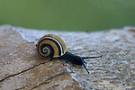 Endemic snail The subgenus Polymita belongs to the family Xanthonychidae,and is very colorful.The specie is said to have a 1000 colorcombinations. parque nacional Alejandro de Humboldt