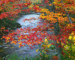 Baxter State Park, ME<br /> Autumn colored maple tree on the edge of Roaring Brook