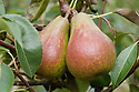"""Pear 'Louise Bonne of Jersey', early September. Also known as 'Louise Bonne d'Avranches'. A French pear """"raised about 1780 by M. Longueval at Avranches, Normandy. The English name arose as an error, presumably because it arrived via the Channel Islands. It is an attractive, reliable and good quality pear, heavy cropping (often requiring thinning) and a good garden cultivar. It is moderately vigorous, growing well in all forms."""" ('Pears' by Jim Arbury and Sally Pinhey)"""