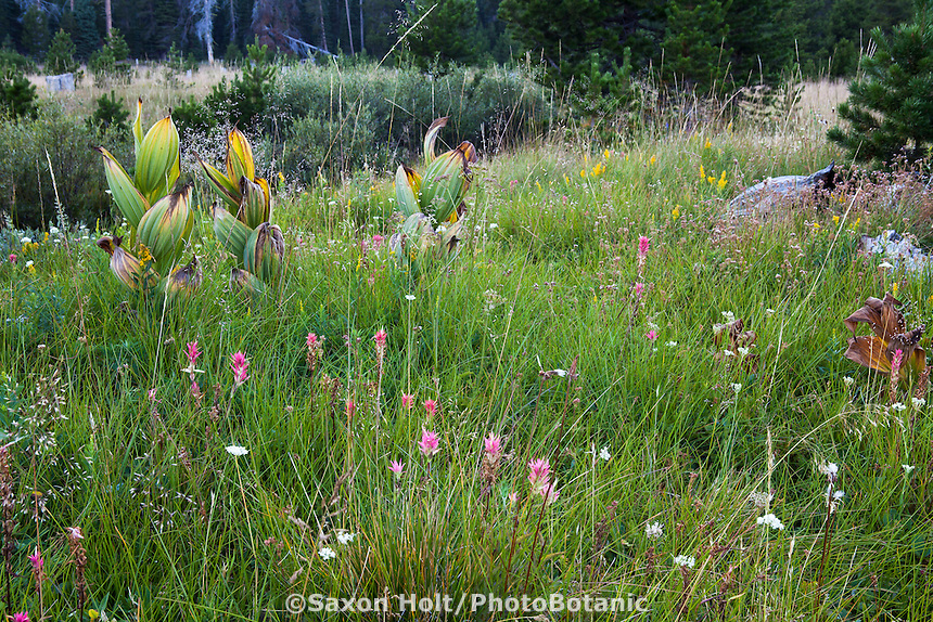 California native plant meadow with needle grass, paintbrush, corn lily, goldenrod