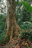 Mahogany tree (Siwetenia macrophylla) in primary lowland tropical rainforest, Alto Purus National Park, Ucayali, Peru.