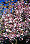 10204-CB Weeping Japanese Flowering Cherry, Prunus subhirtella pendula, flowering branches at Lake Oswego, Oregon