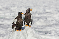 A pair of Steller's eagles at rest on the ice pack.