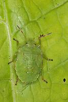 Grüne Stinkwanze, Stink-Wanze, Palomena viridissima, Jungtier, Nymphe, green shield bug