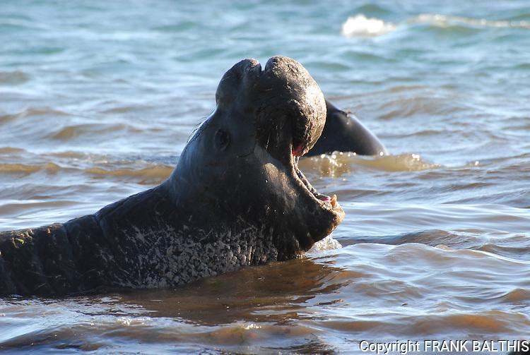 Vocalizing bull elephant seal