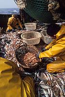 """Europe/France/Bretagne/29/Finistère/Le Guilvinec: Pêche en mer sur le chalutier """"Samouraï"""" - tir des poissons [Non destiné à un usage publicitaire - Not intended for an advertising use]"""