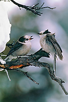 Gray Jays (Perisoreus canadensis) chatting. Winter. Jasper National Park, Alberta. Canada.