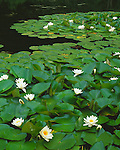 Columbia Gorge National Scenic Area, WA<br /> Backwater pond of the Columbia River with pads of American water-lily, or fragrant water lily (Nymphaea odorata)
