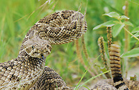 Western Diamondback Rattlesnake, Crotalus atrox, adult in defensive pose, Sinton, Texas, USA, May 2005