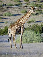 Namibian Giraffe (Southern Giraffe) - Palmwag Lodge - Damaraland (Northern Namibia)
