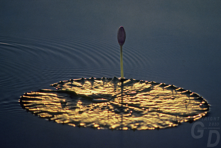 Water Lilly in the last afternoon golden light, Kakadu National Park, Australia