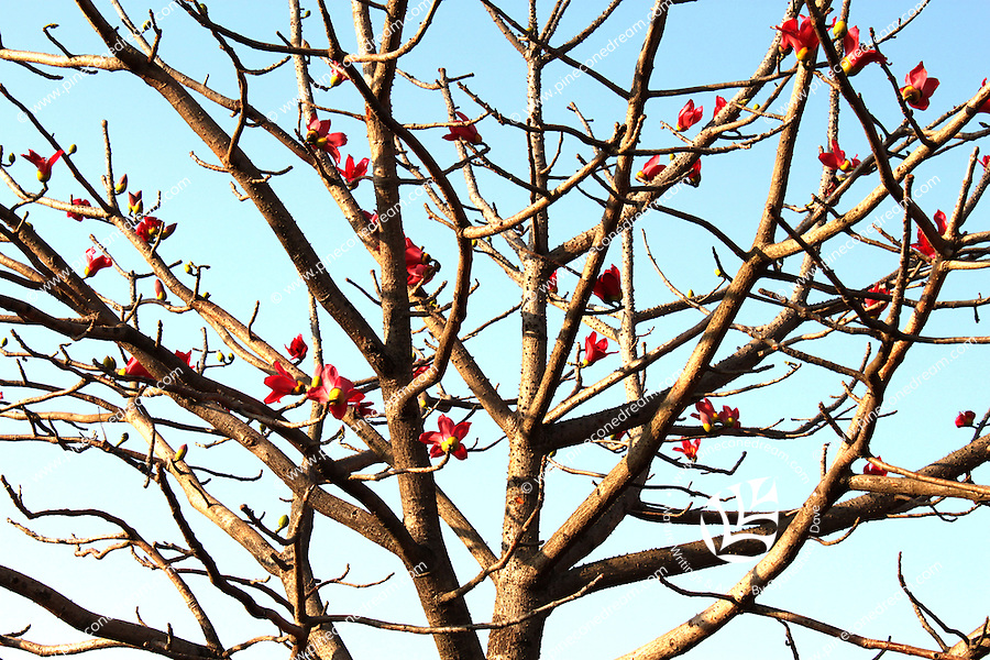 Leafless branches of palash tree top flowered abundantly against the blue afternoon sky in February, looking strange but beautiful!