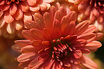 Mum Blossoms