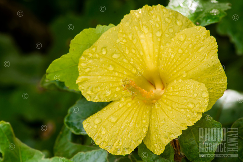 Kapa making on the Big Island: A close-up of the native ma'o hau hele (Hibiscus brackenridgei or native yellow hibiscus), which is used to make dye when decorating kapa. This is the Hawai'i state flower.