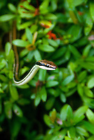 Gmelin's Bronzeback snake (Dendrelaphis pictus). This species is also known as the Common Bronzeback and the Painted Bronzeback Gmelin.