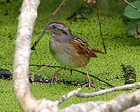 Adult male swamp sparrow in breeding plumage at Paradise Pond, Port Aransas, TX
