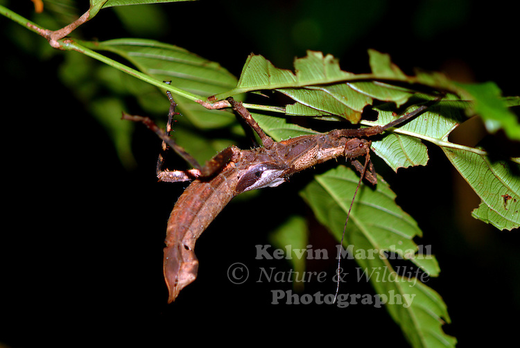 The Phasmatodea (sometimes called Phasmida) are an order of insects, whose members are variously known as stick insects. This image of a Female Haaniella scabra was taken on a night walk in Bako National Park.