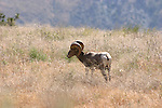Bighorn Sheep (Ovis canadensis)is a large sheep species in North America. This herd is located on Chelan Butte in Chelan, Washington and was planted by the Washington Department of Fish and Wildlife.