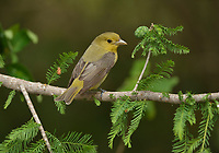 Scarlet Tanager (Piranga olivacea), adult female, South Padre Island, Texas, USA