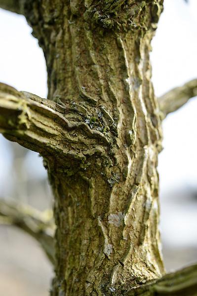 Bark of Acer Campestre (Field Maple)