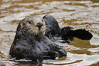 Northern Sea Otter (Enhydra lutris)