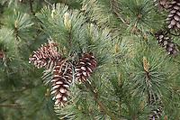 Rumelische Kiefer, Rumelische Strobe, Mazedonien-Kiefer, Mazedonische Kiefer, Balkankiefer, Zapfen, Pinus peuce, Macedonian Pine