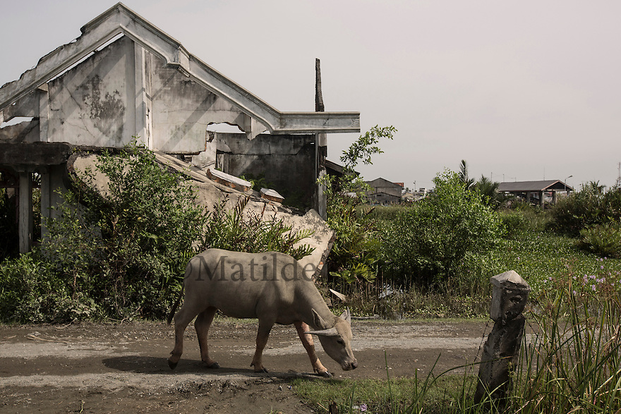 Indonesia - Sumatra - Aceh - Padang Seurahet - A buffalo passes by a house destroyed by the tsunami, the whole village was razed to the ground by the waves and since then lies under the sea level during high tide.