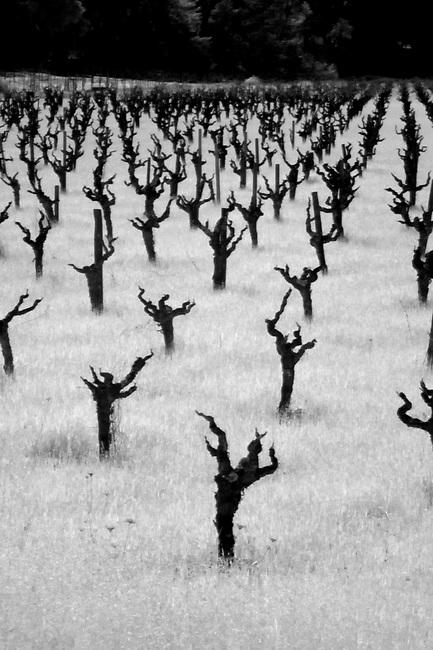 Vineyard on Silverado Trail