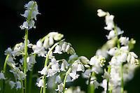 White Bluebells growing, England