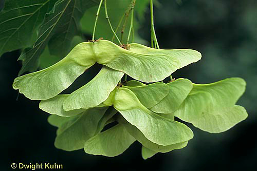 MP07-008a  Norway Maple - seeds - Acer platanoides