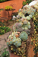 Succulents on Thomas Hobbs' garden wall as seasonal display; Sempervivum, Pachypodum, etc