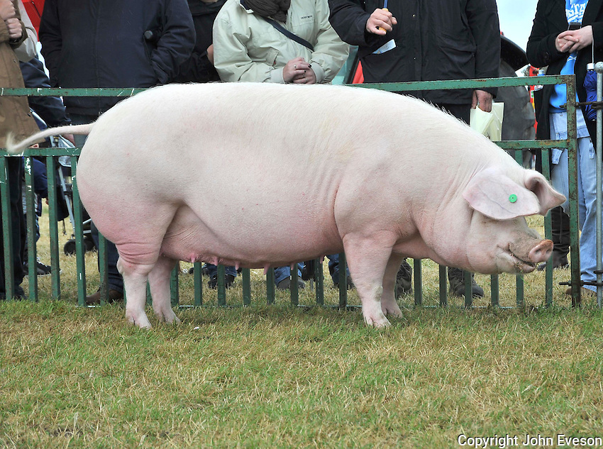The interbreed pig champion, Welsh sow Braemor Nina 4th from P. M. Fowlie.