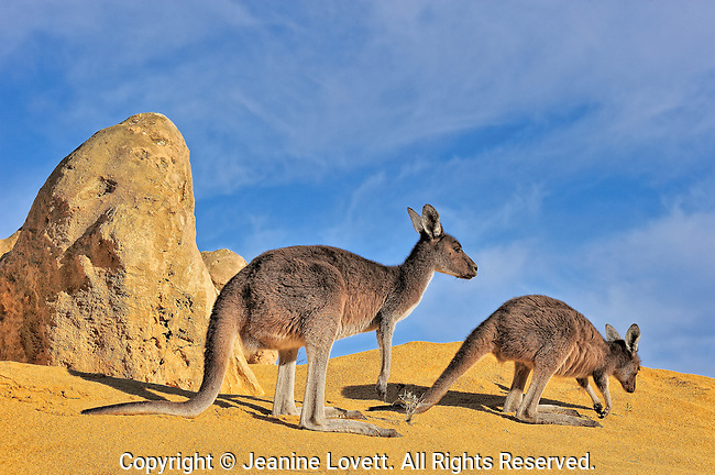 Wild Female eastern grey kangaroo with offspring ,