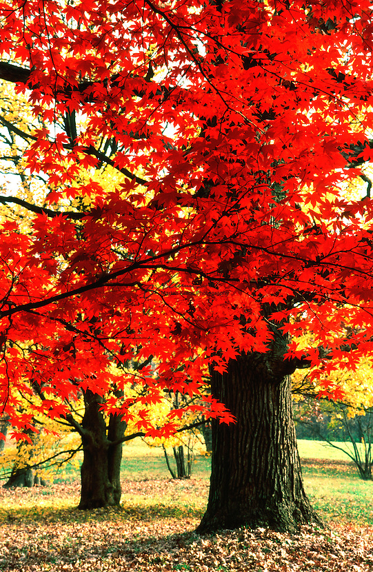 Fall colored Japanese Maple Tree backed by some ancient Oaks at the Morton Arboretum In Lisle, IL
