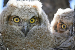 Great Horned owlets peer from a nest in Albuquerque, New Mexico
