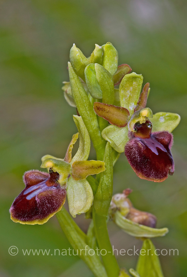 Große Spinnen-Ragwurz, Spinnen-Ragwurz, Spinnenragwurz, Ophrys sphegodes, Early Spider-orchid, L'Ophrys araignée, Ragwurzen, Kerfstendel, Mimikry, Lockmimikry
