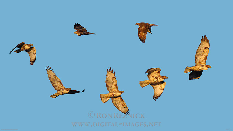 Juvenile Southwestern Red-Tailed Hawk, Sunset Flight, Sepulveda Wildlife Refuge, Southern California, Composite Image