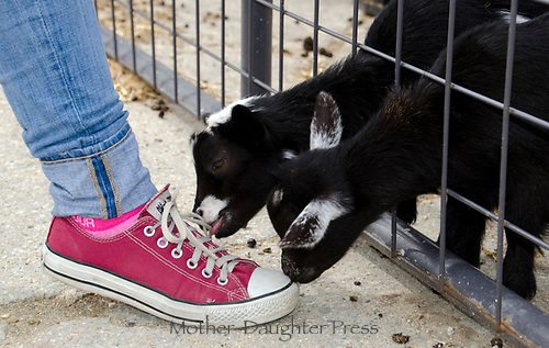 baby goats chewing on tennis shoes through fence, North Yarmouth Maine, USA