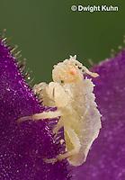 AM09-549z  Ambush Bug nymph several days old, Phymata americana