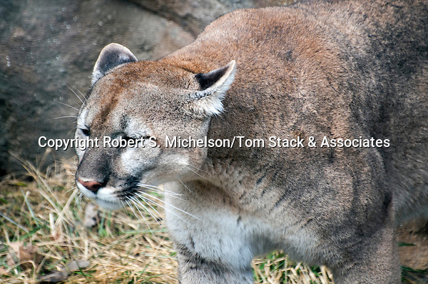 Cougar, or mountain lion, 3/4 shot facing left