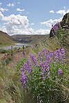 Lupine blooms along the John Day River, Oregon.