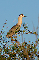 Black-crowned Night-heron perched in a willow tree