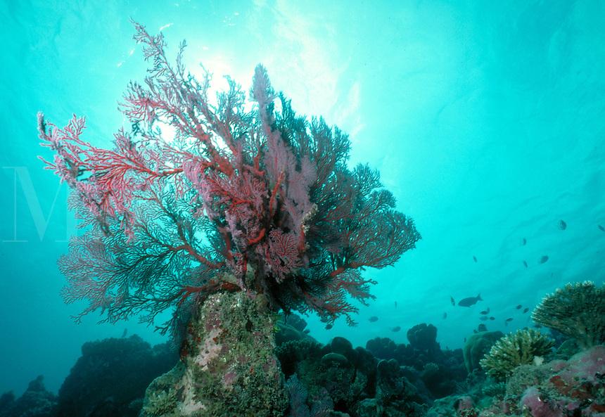 Underwater reef scene - Gorgonian coral in a crystal clear sea, underwater, marine life. Gorgonian coral in crystal clear sea. D'arros Island Seychelles Islands Seychelles Western Indian Ocean.