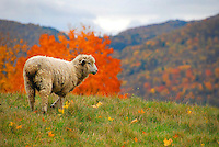Lone sheep on hill in northeastern Vermont, Benson, New England, Fall