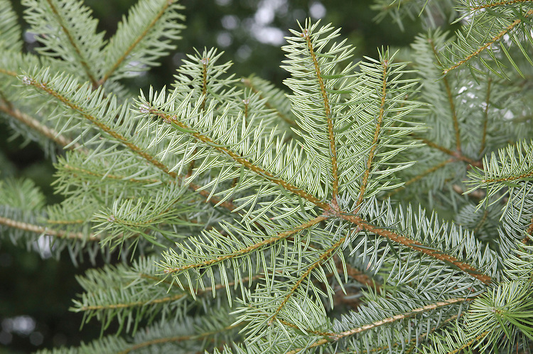 Grecian Fir Abies cephalonica (Pinaceae) HEIGHT to 36m <br /> Spreading tree. BARK Grey with a hint of orange in young trees, deeper grey and fissured to form squarish plates in maturity. LEAVES rigid, prickly needles arising from all round hairless red-brown twigs (not in rows); up to 3cm long with 2 white bands below. REPRODUCTIVE PARTS Cones upright, rich golden-brown, up to 16cm long. Downcurved triangular bracts protrude from between scales. Mature trees are often heavily loaded with cones. STATUS AND DISTRIBUTION Native to Greek mountains. Grows well in dry areas of Britain, but also thrives in wet regions, where it reaches the greatest size.