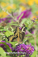 03017-01213 Giant Swallowtail butterfly (Papilio cresphontes) on Butterfly Bush (Buddlei davidii),  Marion Co., IL