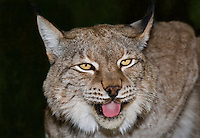 657140004 portrait of a captive lynx felis lynx that is a wildlife rescue native to the northern tier of north america